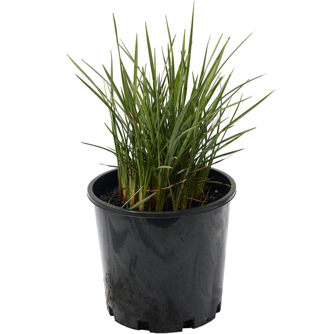 Dianella Revoluta Coolvista Online Plant Shop Adelaide