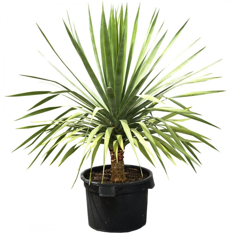 Dragon Tree Online Plant Shop Adelaide