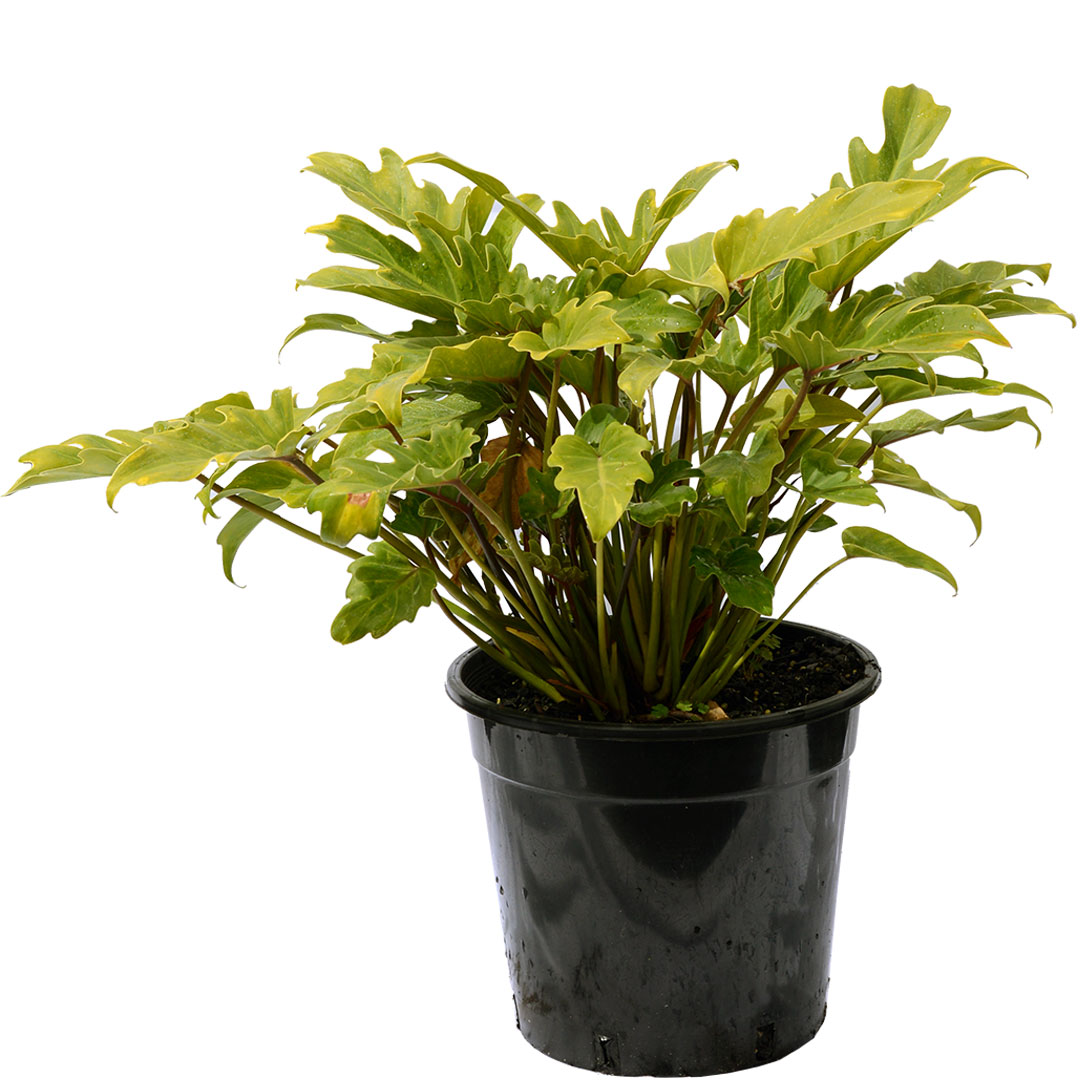 Dwarf Philodendron