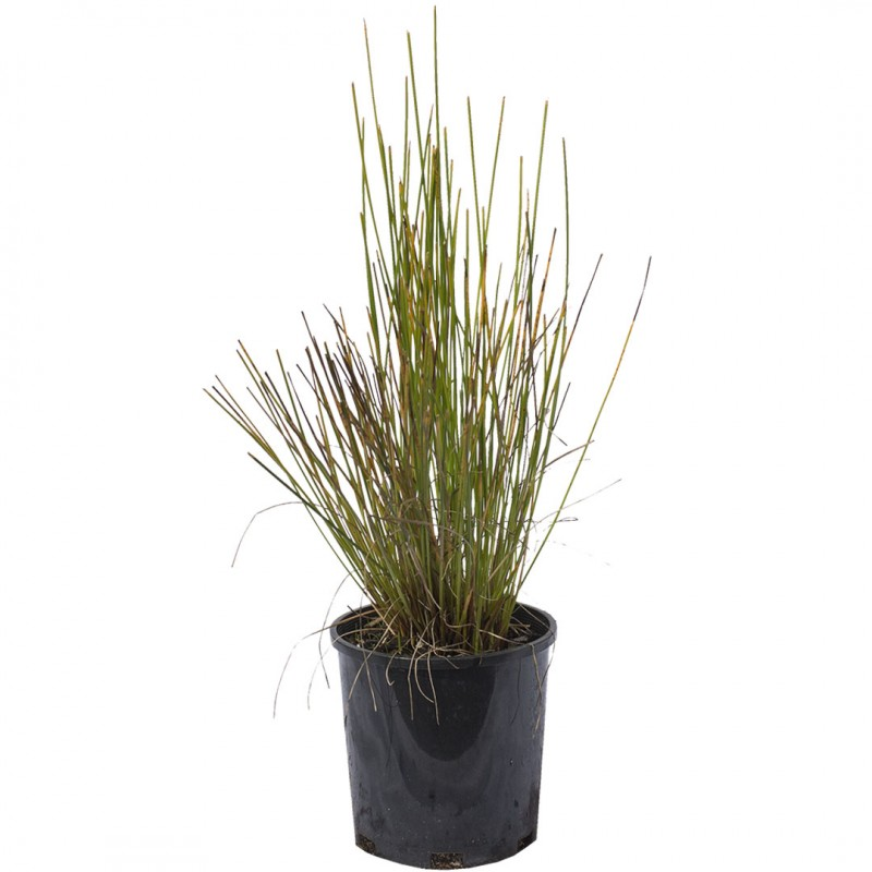 Knobby Club Rush Online Plant Shop Adelaide