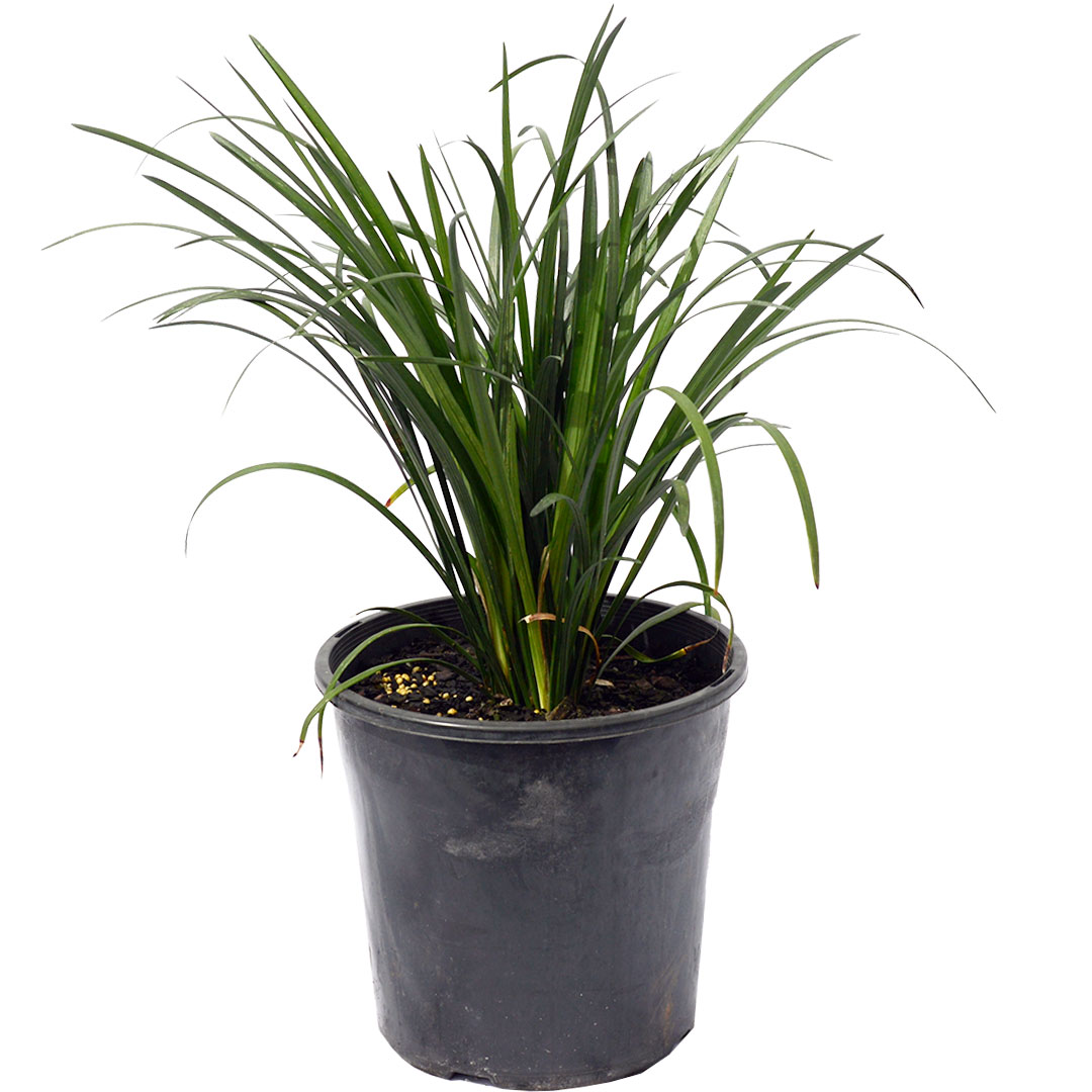 Liriope Evergreen Giant