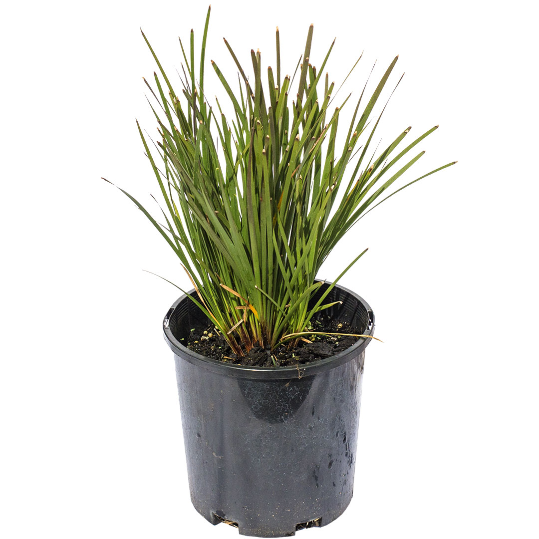 Godfield's Lomandra