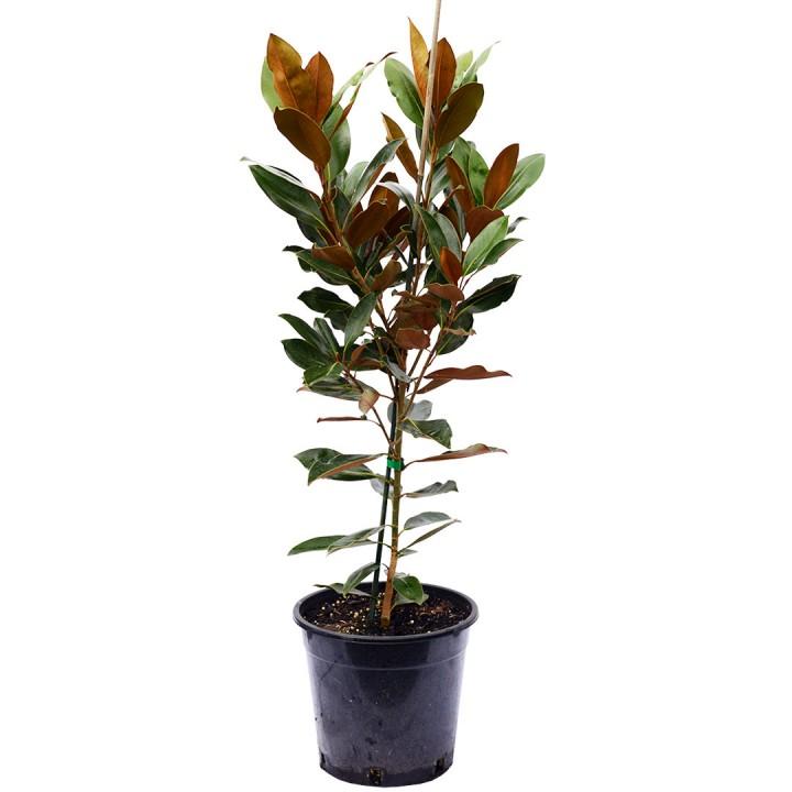 Magnolia Greenback