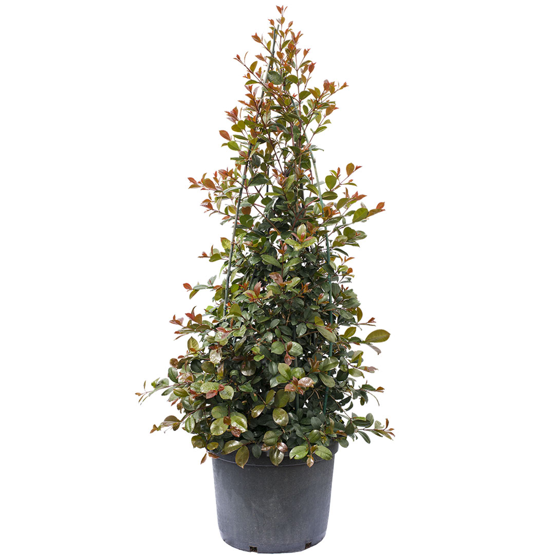 Red Leaf Photinia Online Plant Shop Adelaide